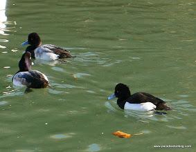 Photo: Tufted Duck and Lesser Scaup, Lake Merritt.