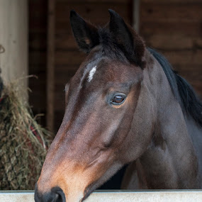 AWAITING LUNCH by Russell Mander - Animals Horses ( horse, stable, brown horse, horse portrait )