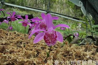 Photo: 拍攝地點: 梅峰-一葉蘭展示室 拍攝植物: 球莖一葉蘭 拍攝日期:2012_04_03_FY