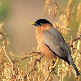 Brahmny Myna by Manoj Kulkarni - Animals Birds ( bird, orangle, brahmny, nature, colorful, beautiful, beak, wildlife, grey, myna, yellow )