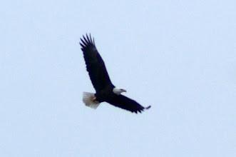 Photo: Bald Eagle at Cedars - Dec 15, 2012