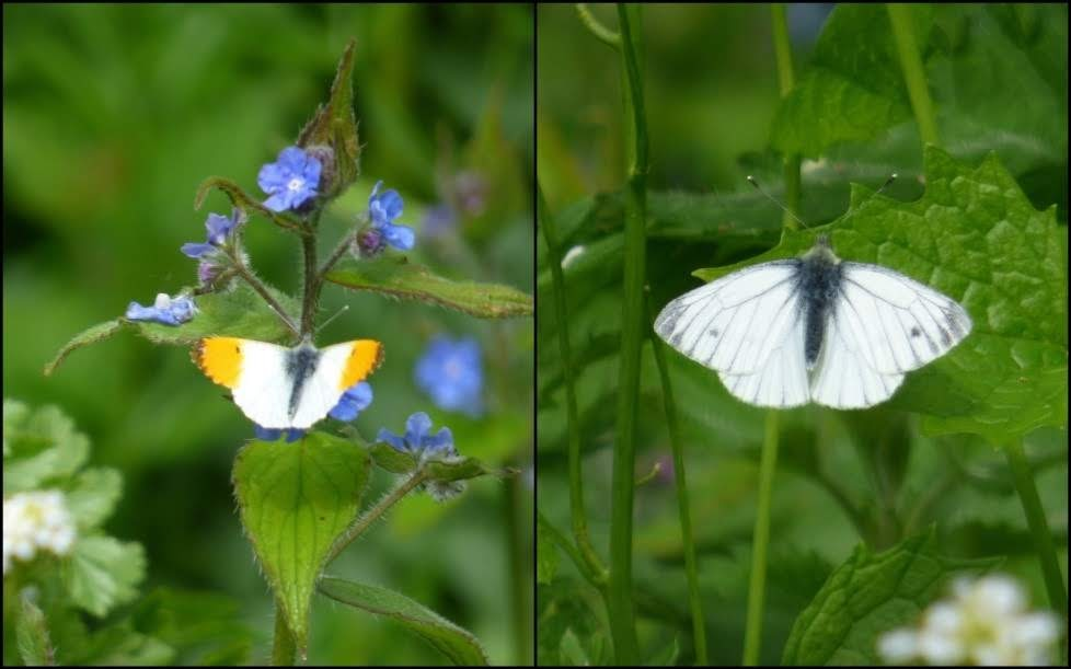 Orange tip butterflies: male (left) and female (right)