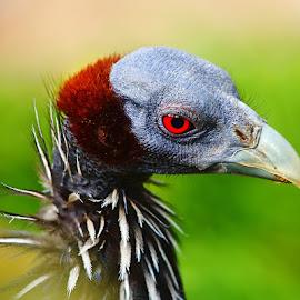 Pintade africaine by Gérard CHATENET - Animals Birds