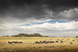 "Photo: After a day in the Serengeti Moru Kopjes, Tanzania, Africa Taken on safari from the photoblog www.kylefoto.com  The word ""safari"" literally means ""long journey"" in swahili and ""to travel"" in arabic. I could spend forever trying to describe the day to you with all sorts of other colourful words but I don't think I could find anything as poignant as that.  After being out all day seeing many thousands of wildebeest, buffalo and zebra, obsessing over lions lounging on kopjes (unique granite outcroppings shown in the photo) we finally got to a point where we could slow down. The previous hours we were desperately trying to absorb and photograph every new little thing we saw, exclaiming ""wildebeest! Oooh no baby wildebeest! ooh no baby wildebeest with an egret standing on it!... No I have a better one with egrets AND oxpeckers on it and it's in better light!"". We were so tuned into looking for wildlife that every rock and stump in the distance had to be an elephant, rhino, or a baboon standing on a hyena on an elephant. Somehow the shame of the misidentification didn't stop us from pointing these imaginary animals out.  The golden grass of the Serengeti rolled in the breeze personifying our collective deep breath of relaxation as this sight rolled into view. We took a photograph, then dropped our cameras in awe as we simply watched, taking it in without pointing out every little thing we saw and just being present.  Photographic Details: This was a very cut and dry easy decision to make for me. I don't like having horizons in the middle unless I'm somehow forced to by my subject or some other circumstance. Instead I like to choose an emphasis and ask myself what's more important or more beautiful, the sky or the foreground? Here the dramatic clouds above had so much texture with a touch of blue sky, but below the wildebeest there was nothing but bare grass. With this in mind I let the Serengeti foreground anchor the photo on the bottom third, and the sky above take up the two thirds, following the aesthetic rule of thirds and making it easier for the viewer to understand what they should be looking at. The rocky outcroppings of the Moru Kopjes were then kept on the left so the eye could follow the formations into the image. All of this is designed to keep the viewers eyes inside the photo, so they don't stray off and lose interest.  Need a photo mission? Check out the daily photo themes at +Daily Photography Themes and http://ericleslie.com/guides/daily-photography-themes-googleplus/  This is #naturemonday by +Rolf Hicker and +Kate Church  #africa #serengeti #safari #tanzania"