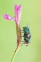 Photo: Lucilia sp. http://lepidoptera-butterflies.blogspot.com/  https://www.facebook.com/pages/Macro-Photography-Do-Dema/540798875993427