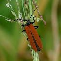 Long-nosed Lycid Beetle