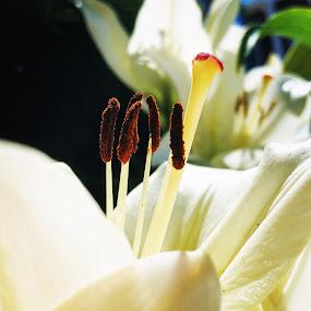 Lillie by Ann Goldman - Flowers Single Flower ( up close, single flower, lillie, flower )