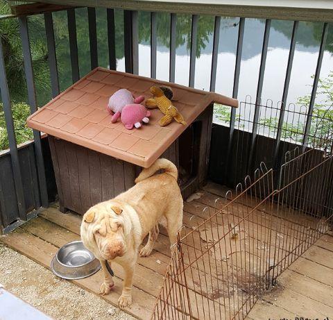 gdragon sharpei dogs 3