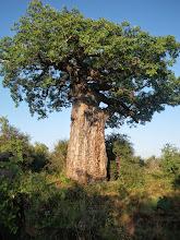 Photo: Baobab tree
