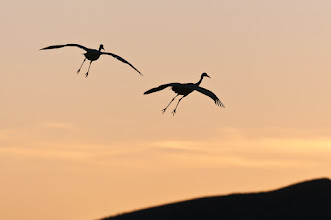 Photo: Sandhill cranes coming in for a landing at sunset; Bosque del Apache