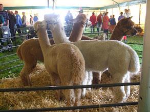 Photo: Alpaca's.