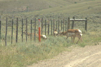 Photo: Pronghorn antelope crossing the road and squeezing under the fence