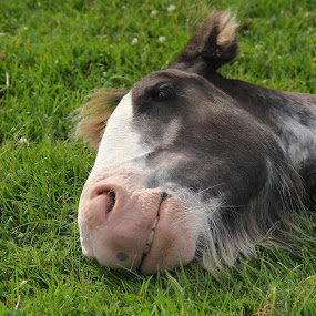 Hmmmm...grass..... by Ian Cormack - Animals Horses