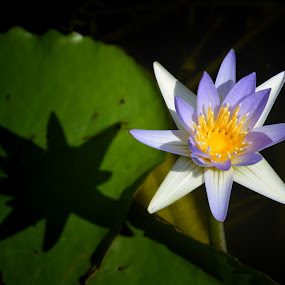 shindhu shapla..... by Ashif Hasan - Flowers Single Flower ( water flower, national flower of bangladesh, light and shadow, color, shadow, same shadow, flower, calm, shindhu shapla, blooming, leaves, light, ashif hasan, lily, dark, shapla, water lily )