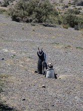 Photo: Penguin braying