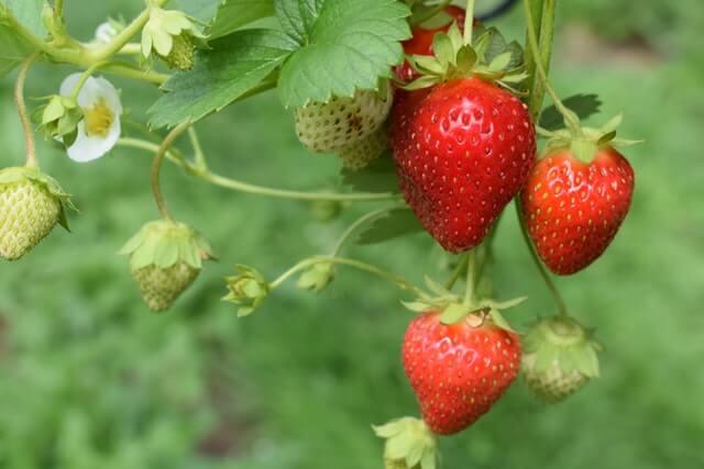 Can Ferrets Eat Strawberries?