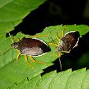 Predator Stinky Bug