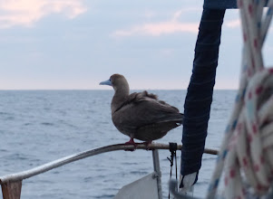 Photo: This is the hitchhiker that spend the night on our bowrail -and made a mess everywhere!!