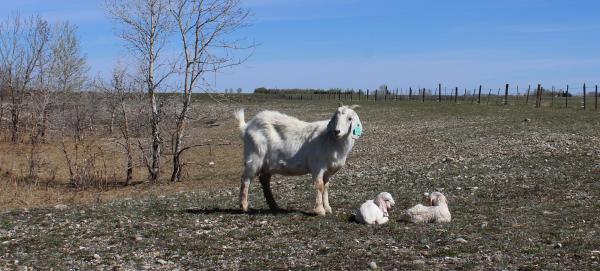 a savannah doe with twins