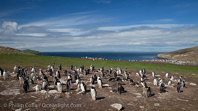 Photo: Gentoo penguin colony, set above and inland from the ocean on flat grasslands.  Individual nests are formed of small rocks collected by the penguins.