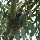 magpie lark(m) on nest