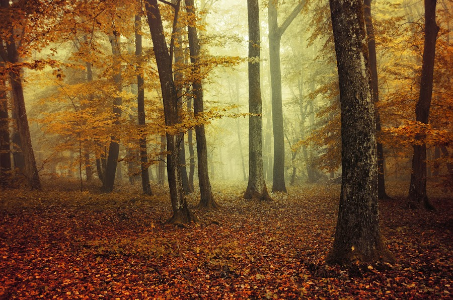 2635 by Zsolt Zsigmond - Landscapes Forests ( forest, fall, autumn, trees, mist, fog )