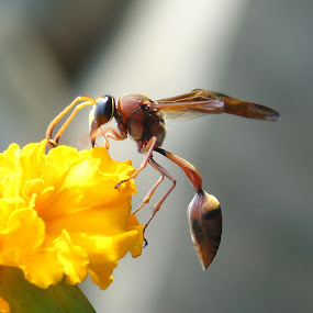 by Rajarshi Das - Animals Insects & Spiders (  )