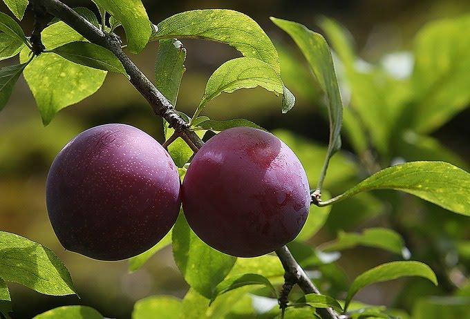 Tứa nước miếng với mùa trái cây Sapa - Ảnh 1