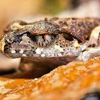 Sarawak Slender Litter Frog