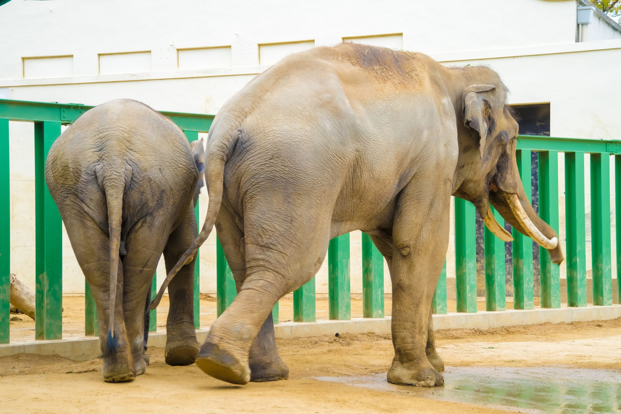 Kobe Oji Zoo Elephant2
