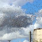 1000+ European Starlings (Murmuration)