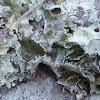 Perforated Parmotrema Lichen