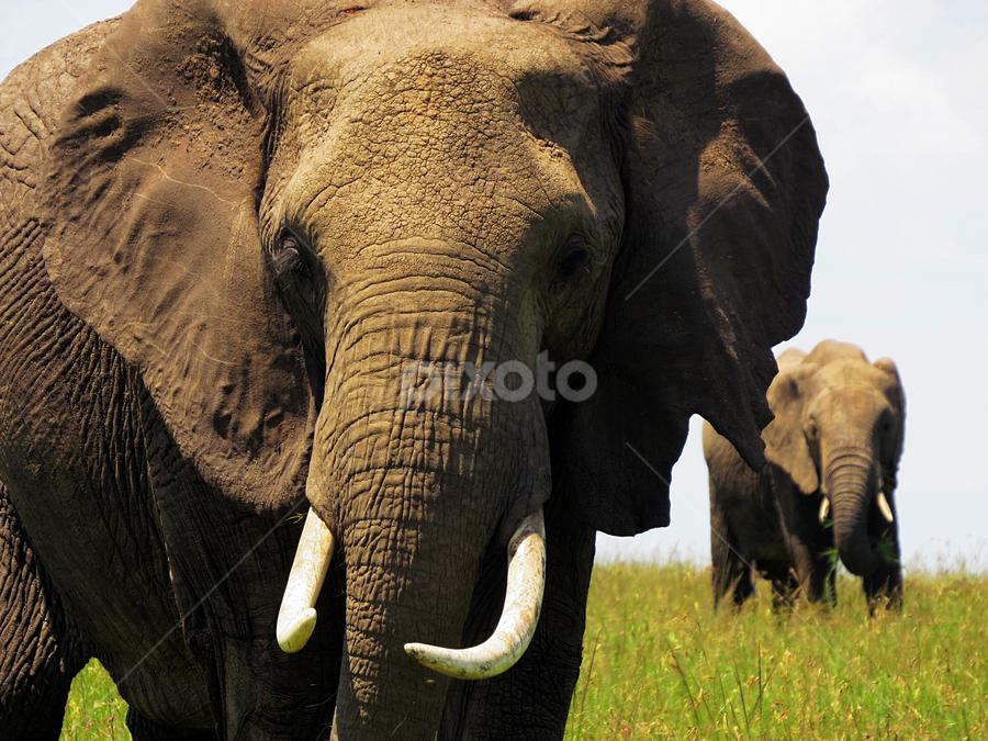 African Elephant at Maasai Mara National Reserve, Kenya by Mohamed Nasser - Animals Other Mammals ( animals, nature, elephant, kenya, national parks, africa )