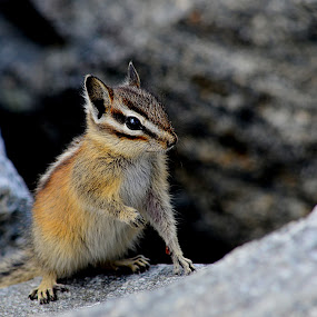 Mother Chipmunk by Jennifer Parmelee - Animals Other Mammals ( mother, colors, chipmunks, places, stripes, cute, rocks )