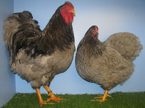 Photo: Blue Wyandotte Poultry Breed from Cheshire Poultry