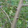 Chinese Blue Flycatcher