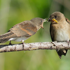 Northern Rough-Winged Swallows by Nick Swan - Animals Birds ( nature, feeding, swallows, birds, wildlife )