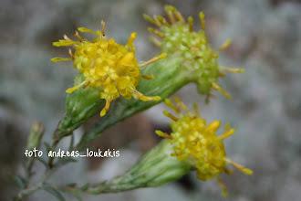 Photo: ΑΣΤΗΡ Ο ΚΡΗΤΙΚΟΣ aster creticus Πολυετές φυτό με βλαστούς λεπτούς και όρθιους Φύλλα επιμήκη λογχοειδή επάλληλα σε όλο το μήκος του βλαστού.Ανθοφόρα κεφάλια σε πυκνούς επάκριους κορύμβους με πολύ χαρακτηριστικά ακατάστατα ανθίδια. Είναι φυτό ενδημικό του ΝΑ Αιγαίου ανθίζει το φθινόπωρο στην Α.Κρήτη