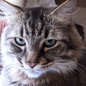 Rufio by Nikki Scott - Animals - Cats Portraits ( cat, maine coon, feline )