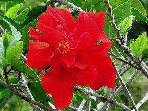 Photo: Hibiscus Blossom