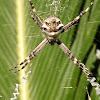 Araña cruz tigre