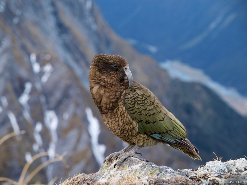 Photo: A kea in the high mountains of the Southern Alps. This is the only alpine parrot species in the world, and an almost constant companion while traveling in the mountains in New Zealand. These parrots are very smart, and also very devious. I heard many funny [infuriating] kea stories, and have a few of my own too. Photo © copyright by Jack Brauer.