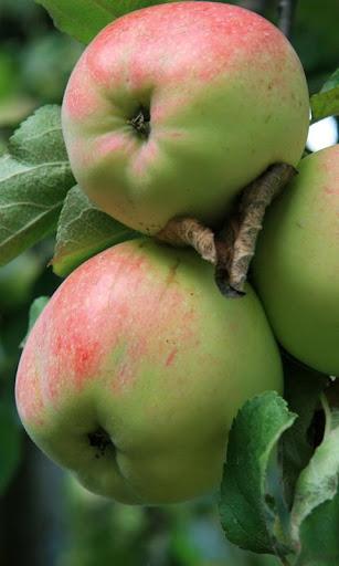 Lwp 蘋果