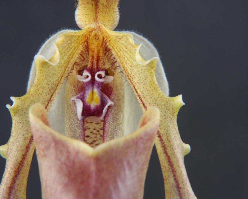 A rara orquídea cara de macaco