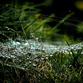 Morning Dew by Gowri Shankar - Nature Up Close Other Natural Objects ( grass, dew, web, droplets )