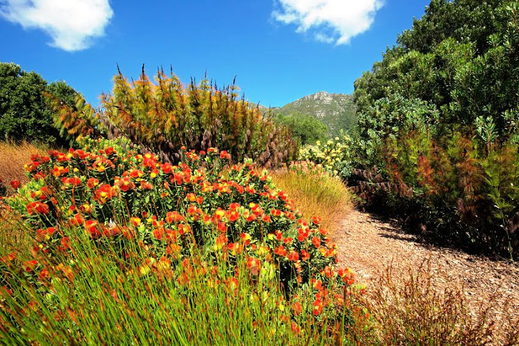Kirstenbosch National Botanical Garden in Cape Town has a dazzling display of hundreds of plants that grow only in the Cape floral kingdom.