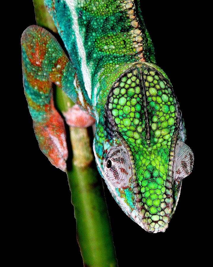 Panther Chamelleon by Ralph Harvey - Animals Reptiles ( wildlife, bristol zoo, ralph harvey, reptile, chameleon )