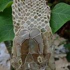 King Cobra moulted skin
