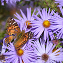 American lady butterfly on an aster