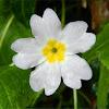 Common primrose (Πριμούλα η Κοινή )